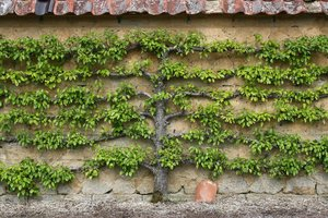 Espalier fruit tree