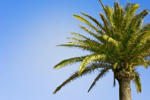 Palm tree: Cropped palm tree
