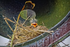 Baby Robins: Baby robins in a nest under a bell outside my back door.
