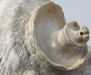 shell spiral: dusty spiral shape of turban shell with exterior worn off