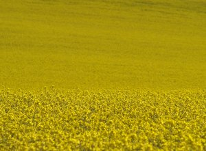 Oil seed, rape: Oil seed, rape, plants and flowers. A symbol of summer.