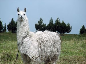 llama: photo taken in Ecuador