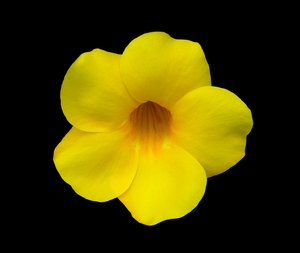 Yellow Allamanda Flower