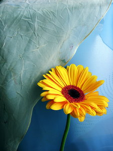 Gerbera II - 1: next photos with this flower :)