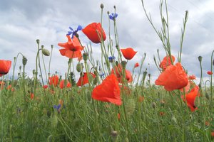 field: poppies and corn flowers at cereal field