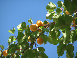 Apricots: An Apricot tree laden with fruits