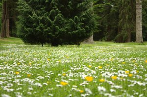 Carpet of daisies