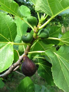fig tree: none