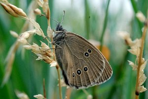 Butterfly from the Satyridae: The Satyridae are the second-largest family of butterflies