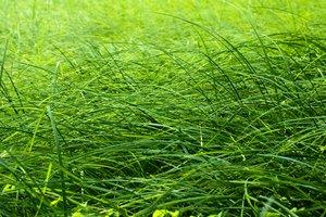 Grass blade texture