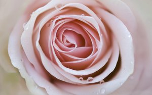soft pink rose: flower impressions