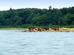 Horses on tidal medow
