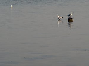 Seagulls in water: Two seagulls in early morning light stading in shallow water.
