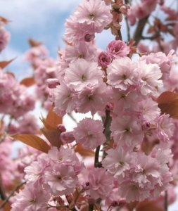 Cherry Blossom: Japanese flowering cherry tree macro.