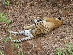 Tiger Resting: no description
