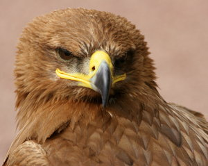 Steppe Eagle: Close-up of Steppe Eagle