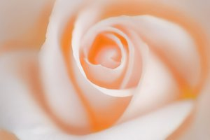 backlight pink rose