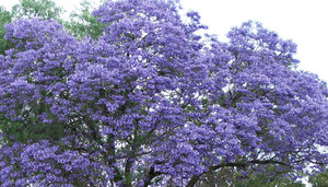 Trees purple flowers spring garden inspiration purple spring flowering tree images flower decoration ideas mightylinksfo
