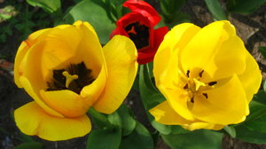 Tulips: Plain yellow and yellow streaked-with-red tulips in full bloom. April.No restrictions. Still, I would love it if you left a note on how you're using the image. Thanks!