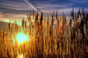 Lyme grass in sunset - HDR