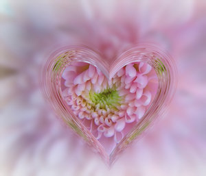 Heart of Glass: A glass heart frame effect on a pink chrysanthemum. Suitable for a texture, background, backdrop or fill, a birthday card or wrapping, anniversary, wedding, or valentine.