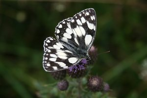 Marbled white butterfly: A marbled white butterfly (Melanargia galathea) on the South Downs, England.