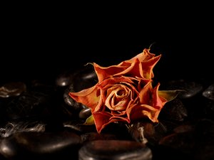 Withered rose on black pebbles