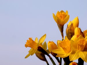 Daffodils: A bunch of daffodils against a pale blue sky