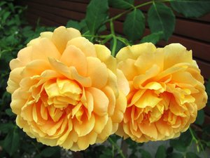 apricot-colored roses