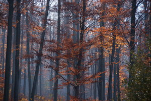 Autumn Mist: Mist in the forest around the Danube Bend