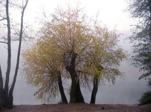 foggy autumn willow