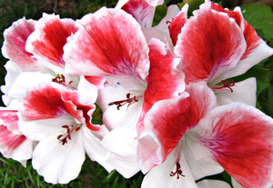 pelargonium red & white
