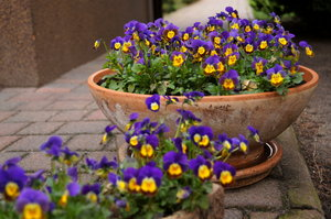 miniature pansies