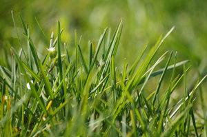 grass series