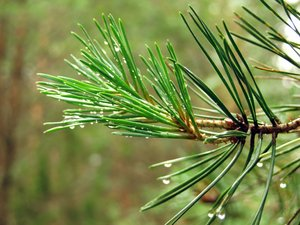 Pine tree: Pine tree branch in forest.