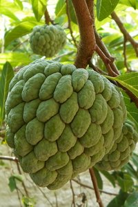 A fruit called sugar-apple