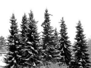 December Day: High firs with snow with hazzy skies