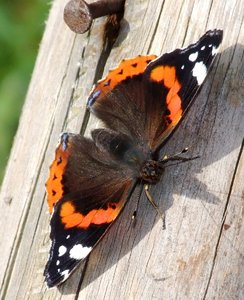 Red Admiral  1: Red Admiral Butterfly resting on a wooden post