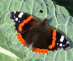 Butterfly on Cabbage Leaf