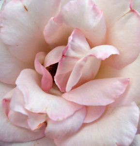 pink tinge: pink tinge on edge of rose petals