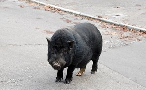 Black pig standing on the asph