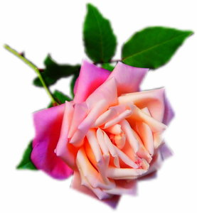 Pink Rose: A beautiful pink rose with a blurred vignette.
