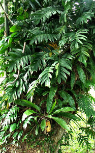 high-up tree ferns: variety of ferns growing up in trees