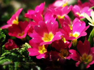 primroses