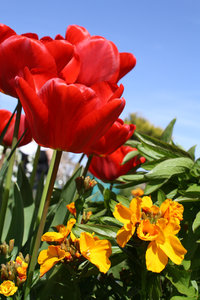Tulips: Tulips and some wallflowers
