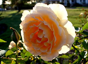 Big Blousy Rose