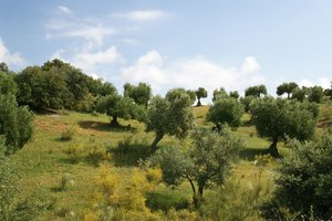 Olive tree hillside