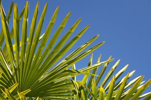 Fan palm fronds: Fronds of a fan palm in a garden in England.