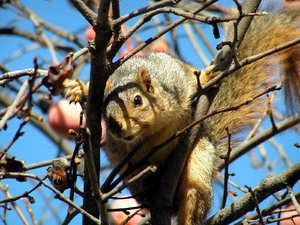 Angry Squirrel: A squirrel takes a defensive position while chattering obscenities at me.