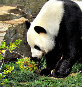 panda: giant panda bears at the Adelaide zoo